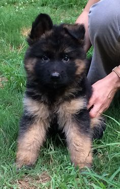 What a beautiful German Shepherd Super Cute Puppies, Cute Baby Dogs, Cute Little Puppies, Cute Dogs And Puppies, Cute Baby Animals, Shepherd Puppies, German Shepherd Dogs, German Shepherds, Big Fluffy Dogs