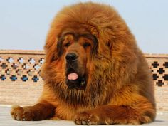 """Tibetan Mastiff AKA """"The Lion Dog."""" One of the top 10 largest dogs in the world. The average Tibetan Mastiff grows to be 180 lbs. They also have a reputation of being the most expensive dogs, as the highest amount paid for one was million dollars. Giant Dog Breeds, Giant Dogs, Large Dog Breeds, Big Dogs, Large Dogs, Dogs And Puppies, Doggies, Fluffy Puppies, Red Tibetan Mastiff"""