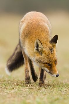 ☀Red Fox (Vos) by Denis Bitter*