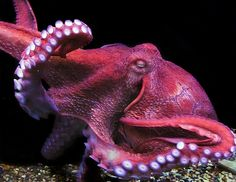 North Pacific Giant Octopus by denisqua, via Flickr