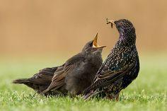 Feed me.....!    Starling - Sturnus vulgaris -Spreeuw