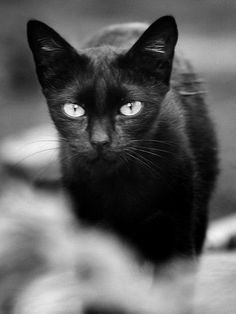 Black cats often get the short end of the, er, tail, when it comes to popularity. Thanks to myths, people start creating X's in the air whenever a black cat ...