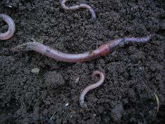 Worms (ugh!) in flower beds = better flowers! If you have provided organic matter and decent moisture, they will come (adding a box or two of night crawlers from the bait shop doesn't hurt). Worms migrate through the soil throughout the year. As they move through the soil they break it up and reconstitute it as castings, which actually add fertilizing nutrients to the soil. -Ali C.