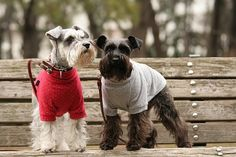 Miniature Schnauzers by With Clair & Sarah