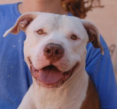 Oz beams with joy and breaks out the biggest smiles when he knows you are happy with him.  He is a young American Bulldog mix, 2 years of age, now neutered and debuting for adoption at Nevada SPCA (www.nevadaspca.org).  Oz is so eager to please that he seems to very quickly pick up kind direction and good behaviors.  At the time of rescue he was witnessed being abandoned in a parking lot.  Please visit and spend time getting to know Oz in our adoption courtyard.