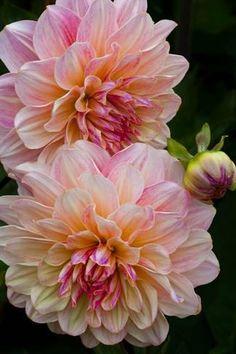 Flowers Nature, Exotic Flowers, Amazing Flowers, Pretty Flowers, Dahlia Flowers, Beautiful Flowers Photos, Lilies Flowers, Dubai Miracle Garden, Magic Garden