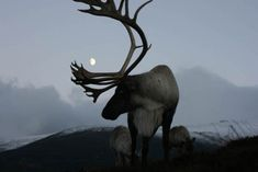 Scotland's reindeer - During the Holidays, you can see free-ranging reindeer (Rangifer tarandus) in Britain, at the Cairngorm Reindeer Centre near Aviemore, in Scotland Beautiful Creatures, Animals Beautiful, Cute Animals, Artic Animals, Photo Animaliere, Look At The Moon, Animal Games, All Gods Creatures, Warrior Princess