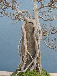Acer Raíz buergerianum sobre la roca