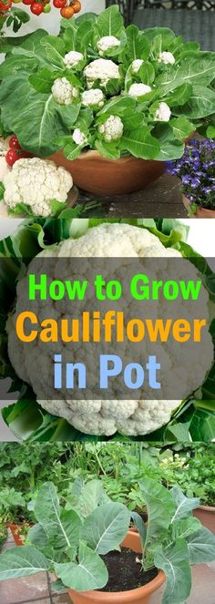 Gardening Growing Cauliflower in Containers - Learn how to grow cauliflower in containers in this article. Growing cauliflowers in containers is not very difficult if you know its proper requirements and ideal growing conditions. Veg Garden, Garden Types, Edible Garden, Veggie Gardens, Fruit Garden, Potted Garden, Garden Web, Balcony Garden, Garden Design