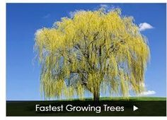 Fast Growing Trees - Buy Trees Online - 1-888-504-2001