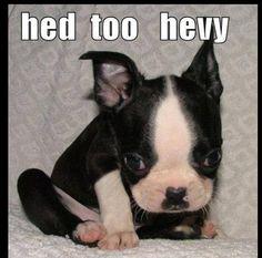 Boston Terrier puppy @ awwww