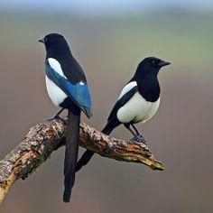 Garsa - Urraca - Pica pica - Eurasian Magpie