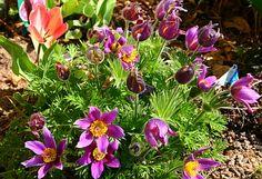 Die frühen Tulpen und die ersten blühenden Stauden verabschieden sich bereits, denn wir hatten bei uns ein warmes Frühjahr. Gestaltung mit Stauden: http://www.hobbygarten.de/gartengestaltung/gartenstauden/