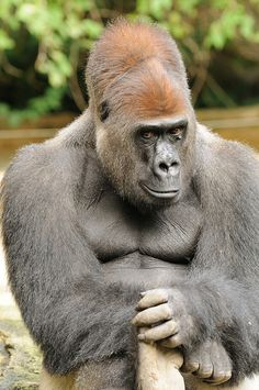 11 Gorilla 6225 Kwashi B | Flickr - Photo Sharing!