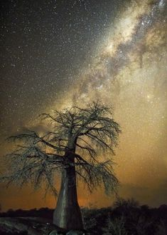 """""""Aquila"""" : constellation du l'aigle - Arbres les plus vieux d'Afrique"""