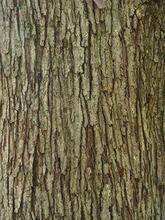 Media, Pennsylvania (PA): Tyler Aboretum: Red Maple (Acer rubrum) bark