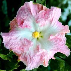Exotic Hibiscus 'Daddy's Angel', very nicely named, Very delicate colors for Daddy's little Angel