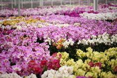 Hundreds of our colorful orchids in the greenhouse!
