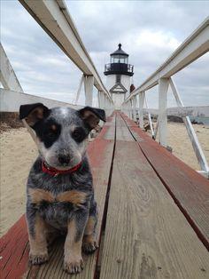 Australian Cattle Dog, Bogart, at Brant Point Light House Nantucket!