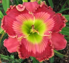 Daylily, Hemerocallis 'Dale Hensley' (Smith, 2009)