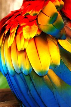 when I was a kid I had a whole box of parrot feathers I found on the ground and at my Grandma& house in Puerto Rico - I wonder where those feathers all went -they were amazing rainbows like this. Parrot Feather, Feather Art, Parrot Wings, Bird Wings, Colorful Feathers, Bird Feathers, Coloured Feathers, World Of Color, Belle Photo