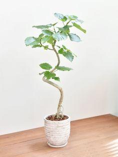 ウンベラータ Hanging Planters, Interior Styling, Bonsai, House Plants, Shapes, Unique, Green, Style, Interior Decorating