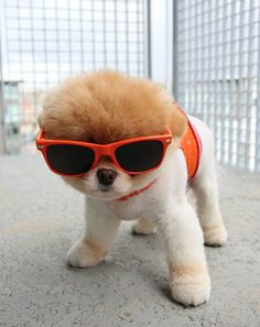 Puppy in Sunglasses Beating the Heat