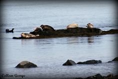 Six Seals --along the shores of the Bay of Fundy