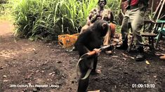 Chimpanzee exercises his rights under the Second Amendment and Stands His Ground