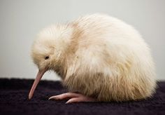 Photo provided by the Pukaha Mt Bruce National Wildlife Centre, a rare white kiwi chick is seen only days after being hatched in May Baby Kiwi, Rare Albino Animals, Amazing Animals, Unique Animals, Adorable Animals, Melanism, Kiwi Bird, Fauna, Exotic Pets
