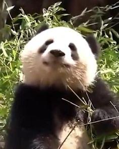 Funny Panda Pictures, Panda Funny, Bear Pictures, Cute Little Animals, Cute Funny Animals, Cute Cats, Big Cats, Cute Panda Baby, Baby Pandas