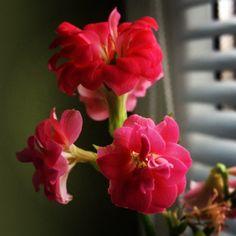flower in the window Marcel, Window, Rose, Instagram Posts, Flowers, Plants, Photos, Pink, Pictures