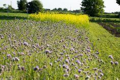 Muștar și facelia Vineyard, Outdoor, Sun, Plant, Lawn And Garden, Outdoors, Vine Yard, Vineyard Vines, Outdoor Games