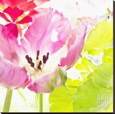 Pink Parrot Tulip Stretched Canvas Print by Judy Stalus at Art.com