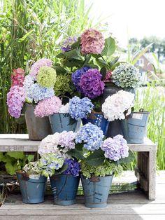 Kaum eine Schnittblume entfacht selbst als Einzelexemplar so viel Begeisterung wie die Hortensie, denn ihre Blüten beeindrucken in jeder