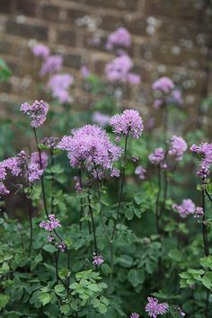 Thalictrum aquilegiifolium - Fluffy mauve or white flower clusters appear in June and July, held on upright stems above grey-green, fern-like foliage. The dainty blooms of this early flowering meadow rue provide an excellent contrast with larger flowered plants. Perfect for a border in partial shade, the stems need supporting with brushwood or garden canes.