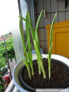 Como plantar alho na sua cozinha