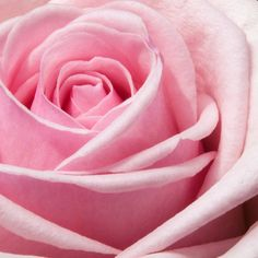 Rose essential oil is one of the most valuable of the precious oils. This article will help you get the most out every last drop of your rose essential oil. Window Clings, Window Art, Flowers Wallpaper, Butterfly Wallpaper, Wallpaper Wedding, Wallpapers, Dark Wallpaper, Wallpaper Desktop, Beautiful Pink Roses