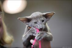 Oriental Shorthair kitten: Photography by Ludmila Pankova #cat #oriental_shorthair #ludmila_pankova