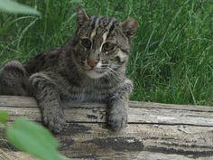 Fishing Cat 03 by animalphotos.deviantart.com