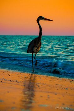 Great Blue Heron against Gulf of Mexico sunset ~ Paul J. Hart