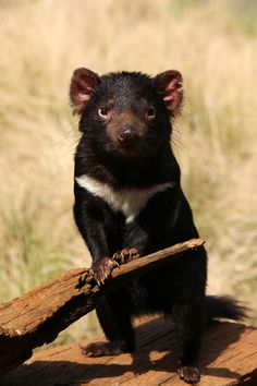 Tasmanian Devil (Sarcophilus harrisii) - once native to mainland Australia, but now found in the wild only on the island state of Tasmania, including tiny east-coast Maria Island Rare Animals, Animals And Pets, Wild Animals, Reptiles, Mammals, Australia Animals, Tasmanian Devil, Interesting Animals, Mundo Animal