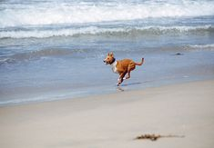 Running on the Beach   Community Post: 34 Things That Make Basenjis Happy