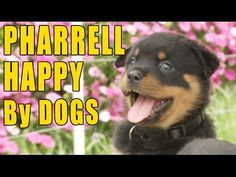 """Happy Dog, A Parody of Pharrell Williams' Song """"Happy"""" Starring Cute Canines --  Love this song even more now."""