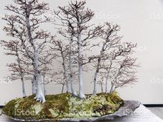Bonsai Forest of Birch Trees royalty-free stock photo