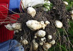 Maa-artisokka on helppohoitoinen ja terve kasvi. Lue maa-artisokan…
