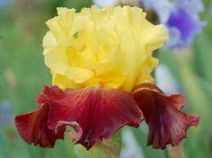 TB Iris germanica 'Norman' (Spoon, 2011)