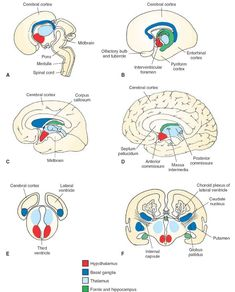 Development of the forebrain. (A-D) Medial views of four different stages of development of the cerebral hemispheres and their fusion with the diencephalon. Note the C-shaped arrangement of the telencephalic structures, including the hippocampus and fornix as well as the basal ganglia complex formed later in development. (E and F) Cross-sectional diagram taken from levels indicated in panels A and D illustrating how the cerebral hemispheres are formed at different stages of development. Note…