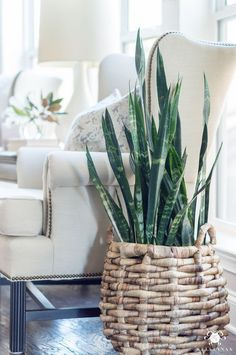Easy houseplants to keep alive- snake plants (aka sansevieria or mother in law t. Easy houseplants to keep alive- snake plants (aka sansevieria or mother in law tongues) Home Decor Accessories, Decorative Accessories, Interior Plants, Bedroom Plants, Shabby Chic Bedroom, Decor Guide, Bedroom Decor, Plant Decor, Indoor Plants