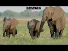 Botswana is home to more African elephants than anywhere else in the world. Every year, thousands of elephants trek over miles in search of food and li. Amazing Photos, Cool Photos, Elephant Trekking, Save Wildlife, African Elephant, Blogger Themes, National Geographic, Elephants, Documentary